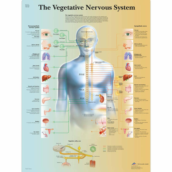 The Vegetative Nervous System Anatomical Chart