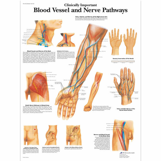 Blood Vessels-Nerve Pathways  Anatomical Chart