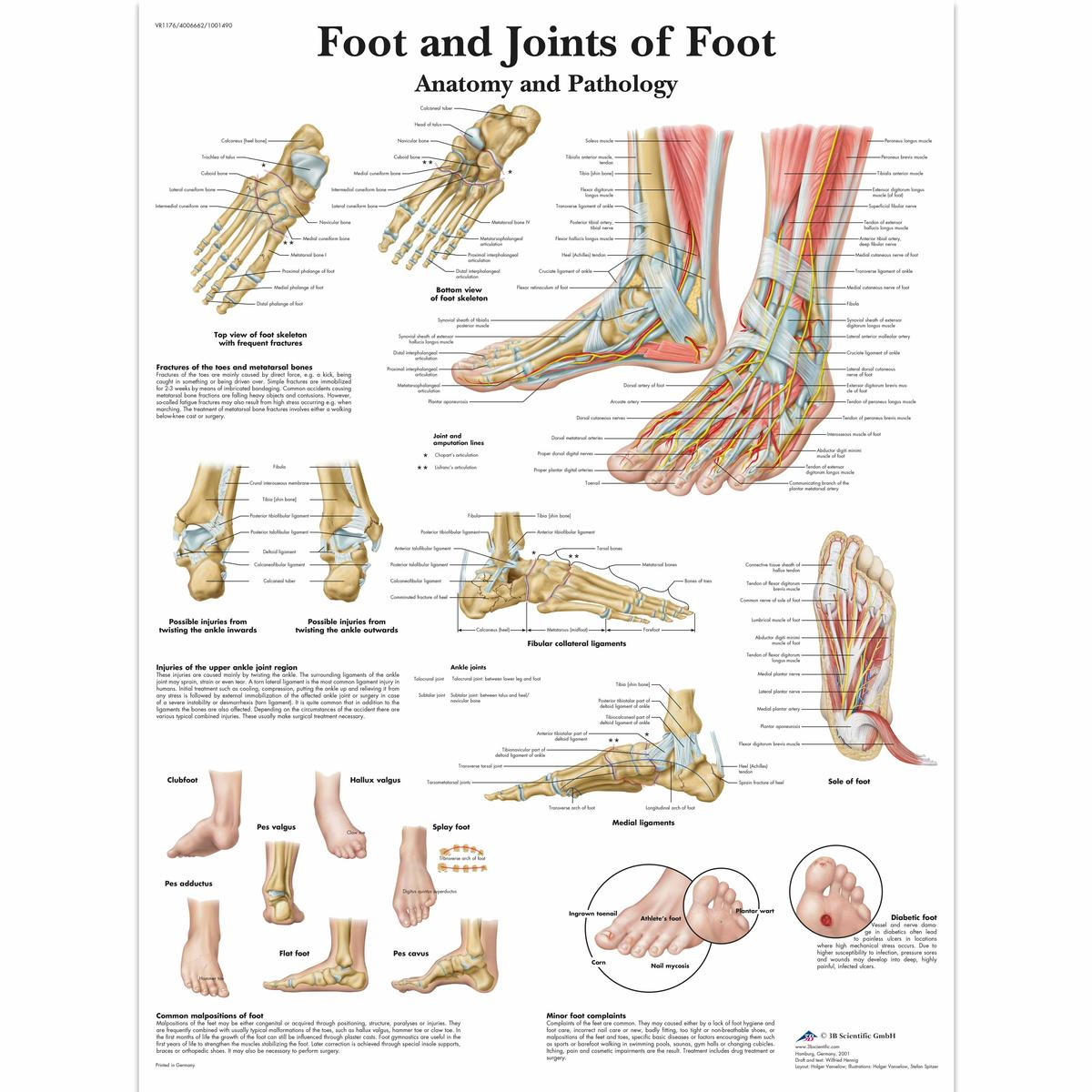 Foot And Ankle Anatomical Chart Ceilblue