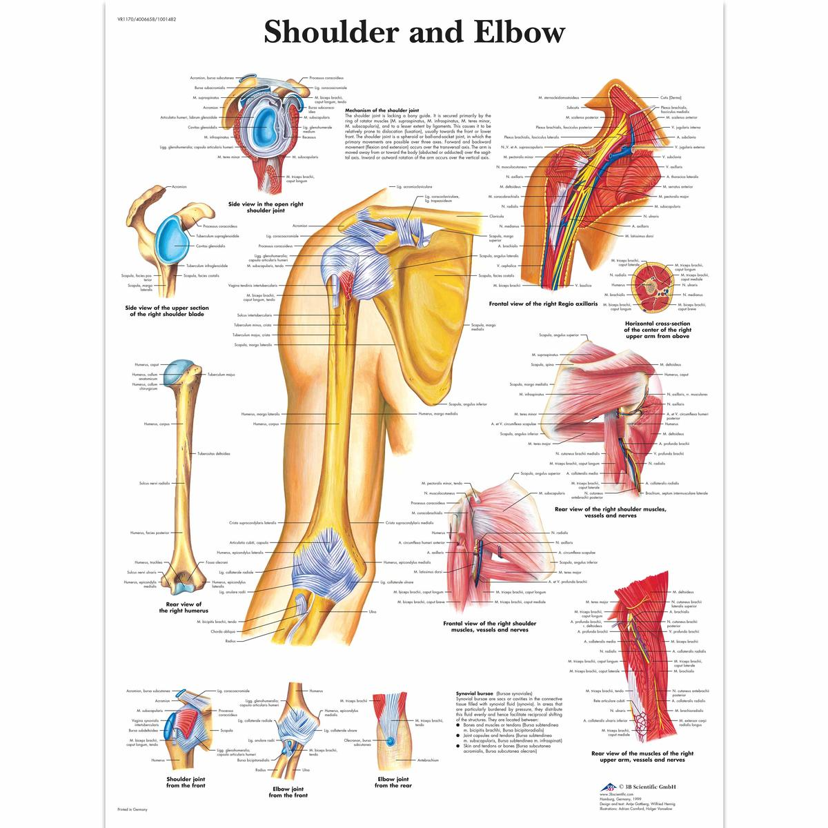 Shoulder And Elbow Anatomical Chart Ceilblue