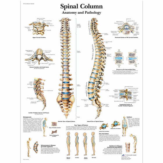Spinal Column Anatomical Chart