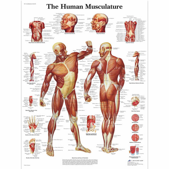 Human Musculature Anatomical Chart