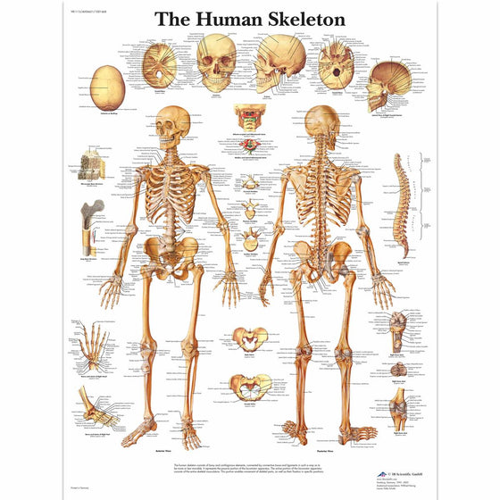 Human Skeleton Anatomical Chart