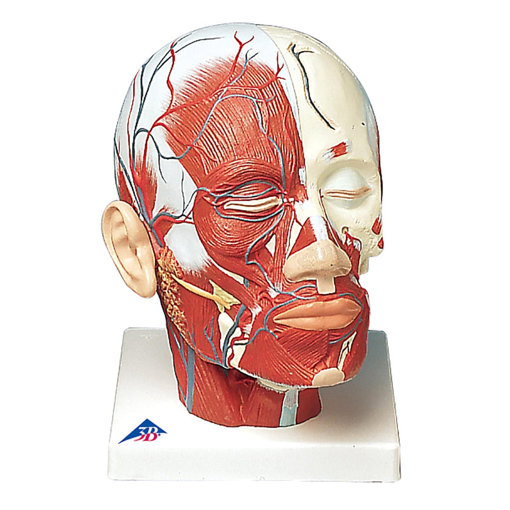 Head and Neck Musculature with Blood Vessels