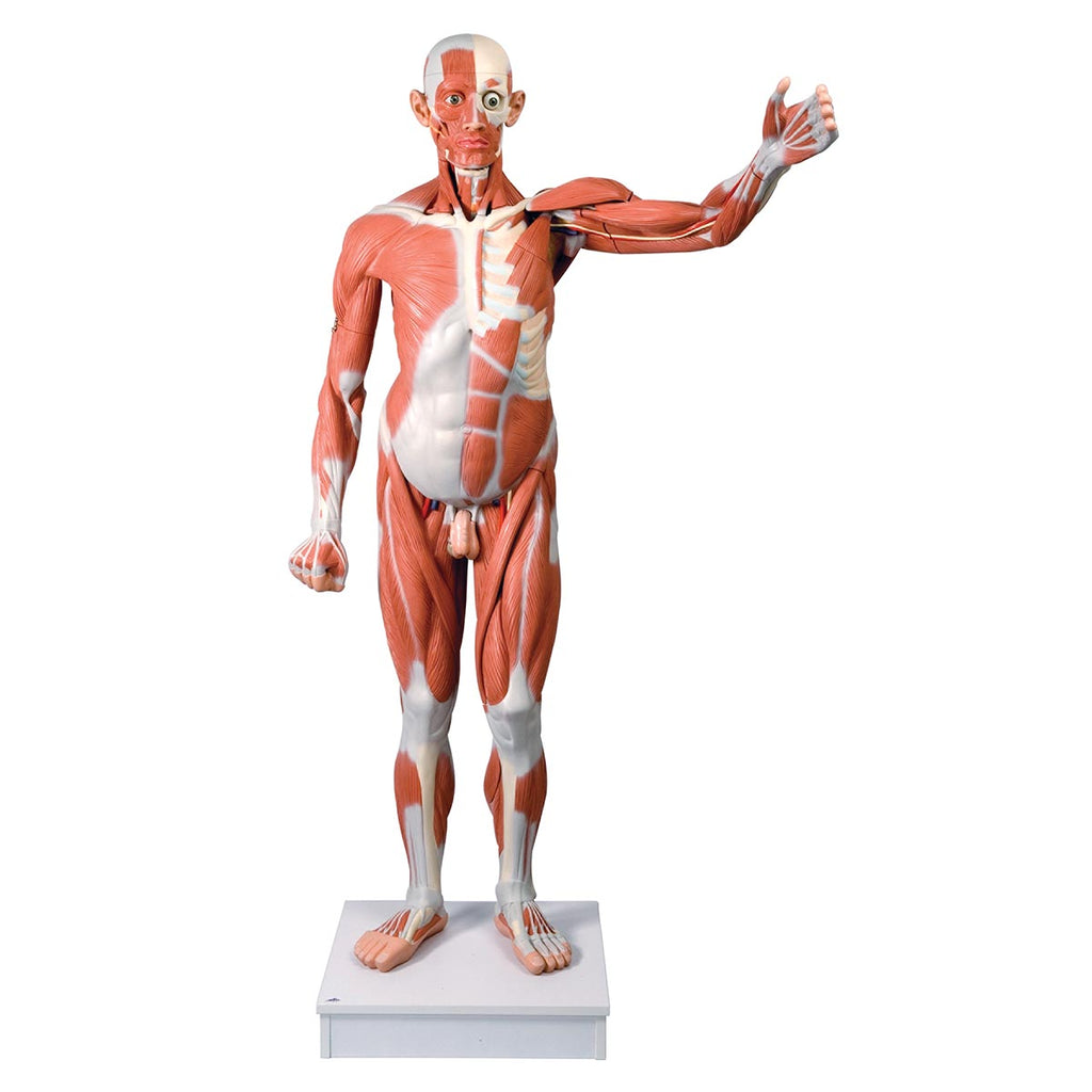 Male Muscular Anatomy Model Life-Size 37-Part