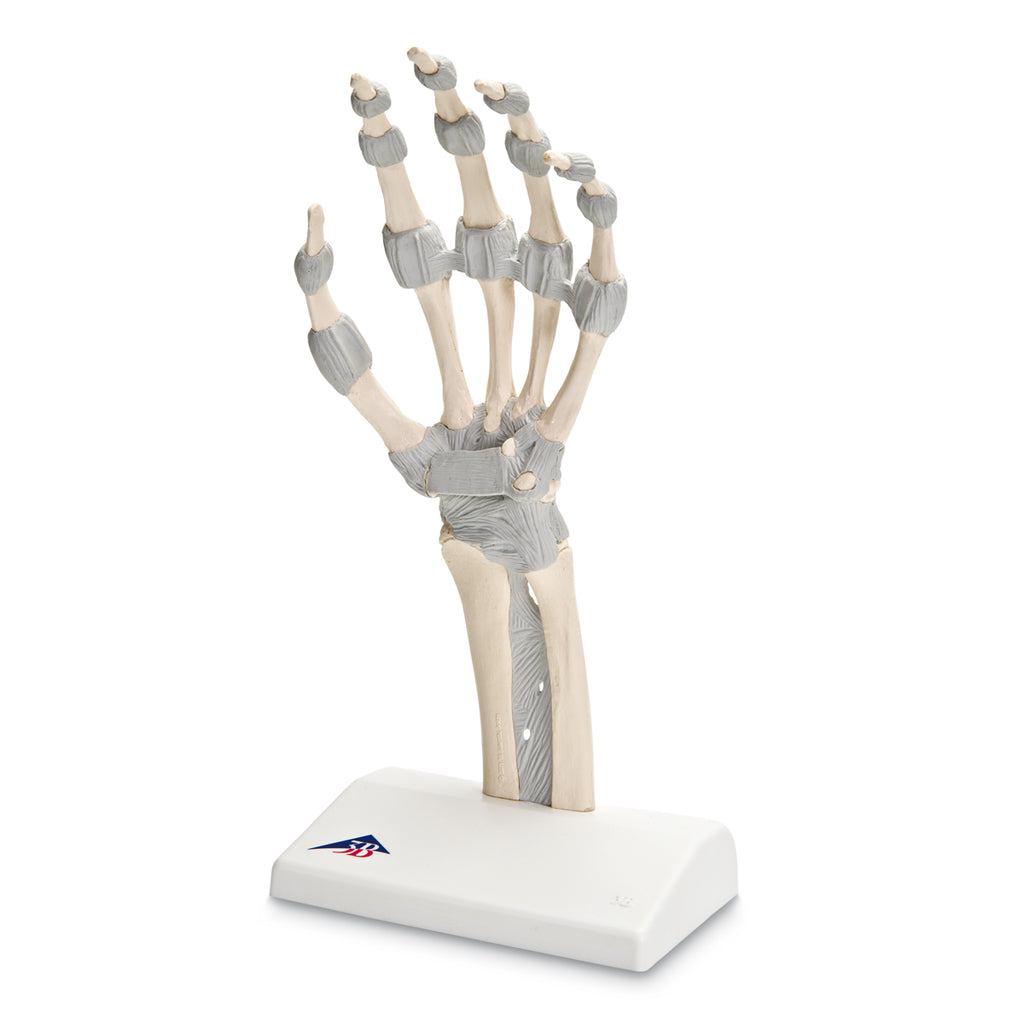 M36 Hand Skeleton with Elastic Ligaments