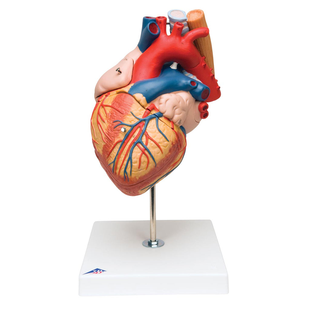 Heart with Oesophagus a. Trach. 2x Life-Size