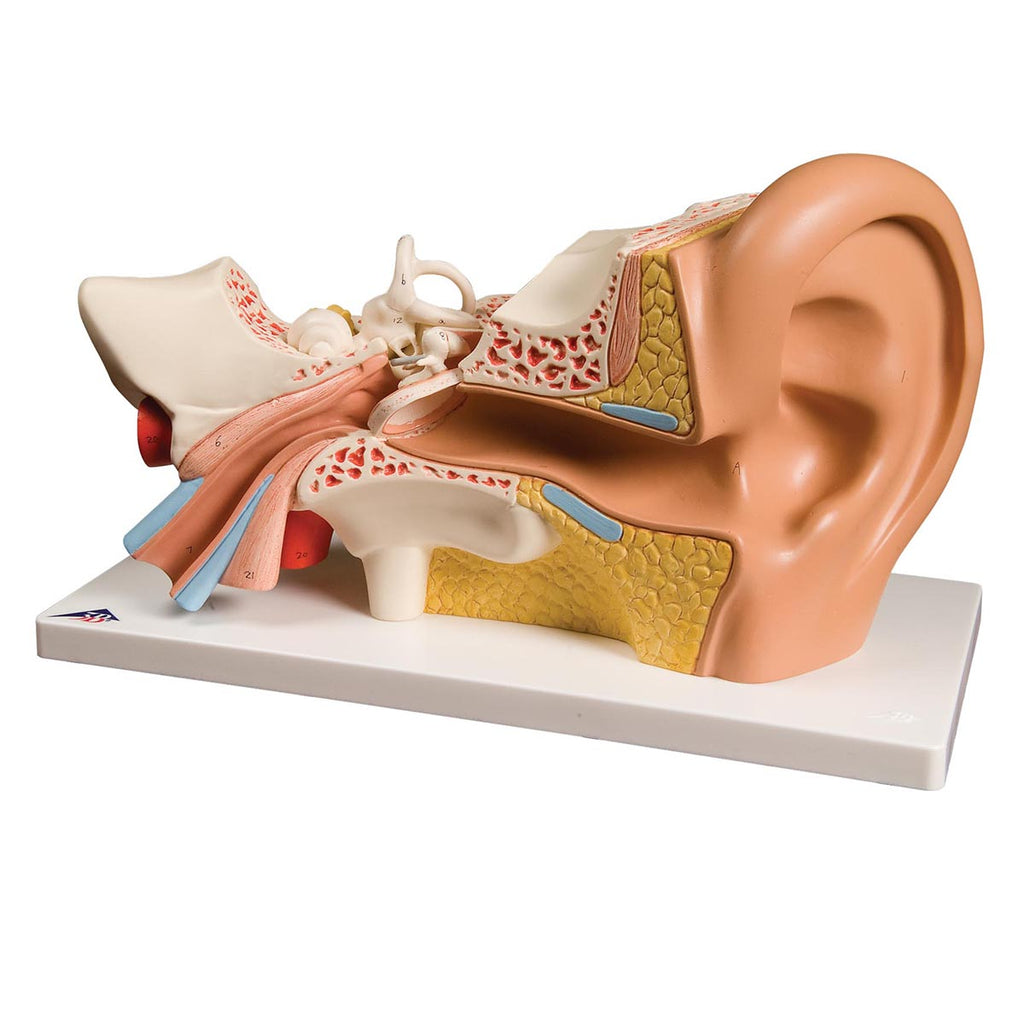 Giant Ear Model - Classic Version