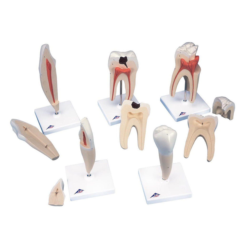 Classic Tooth Model Series 5 models
