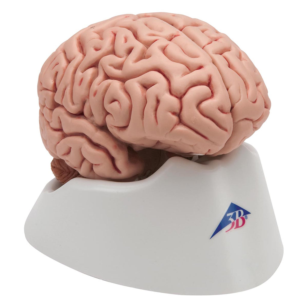 Classic Brain 5 part Anatomical Model