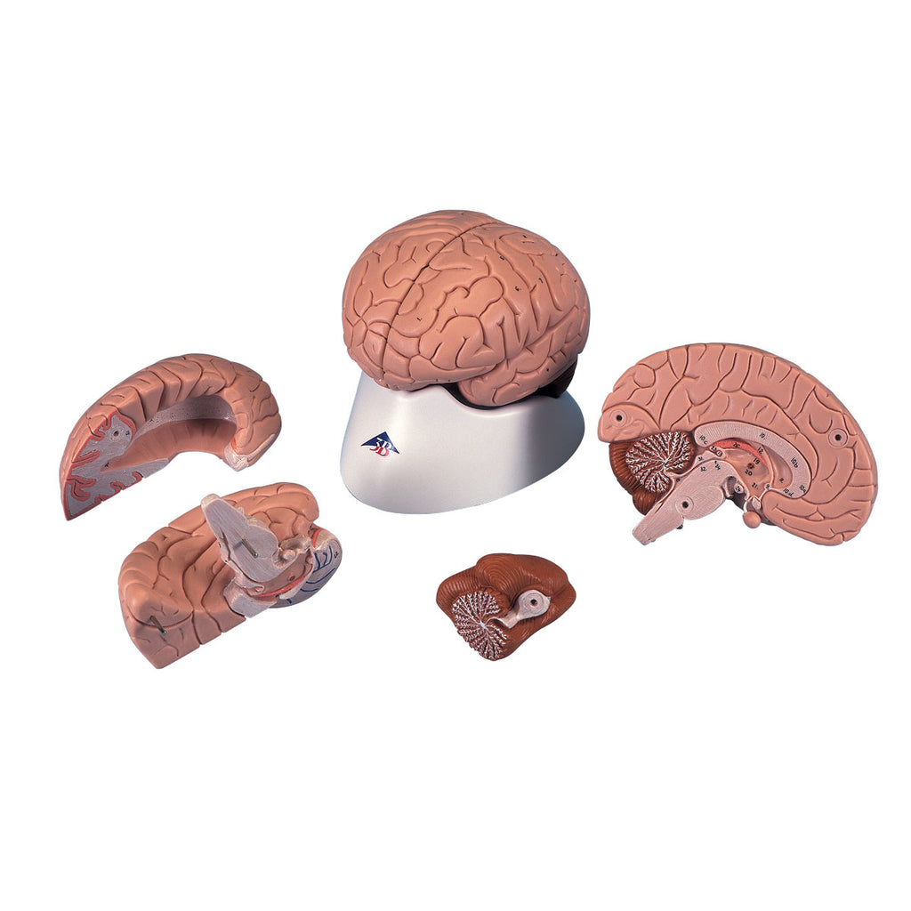Classic Brain 4-part Anatomical Model