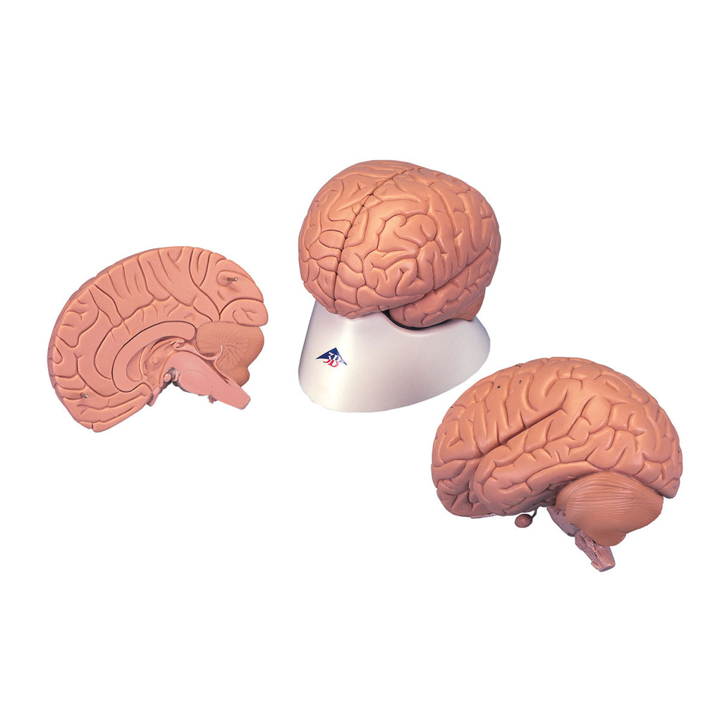 Economy Brain 2-part Anatomical Model
