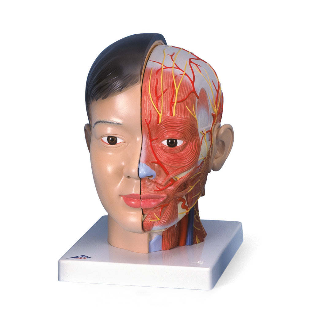 Asian Deluxe Head with Neck Anatomical Model