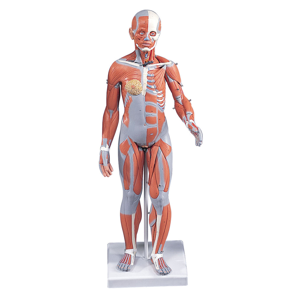 Complete Female Muscular Anatomical Model