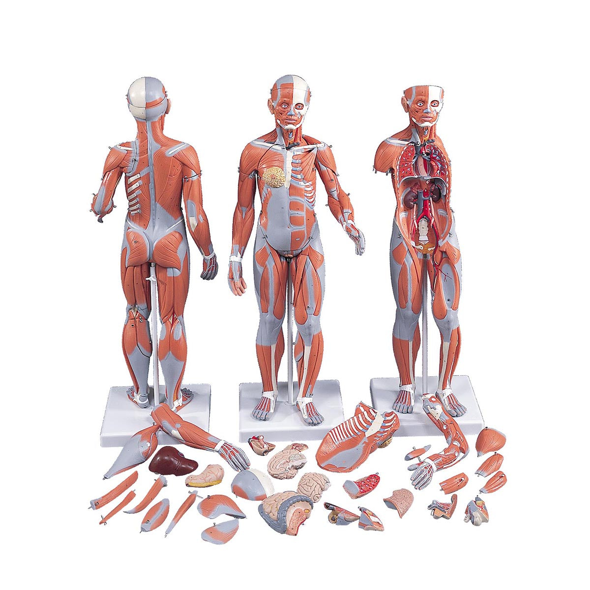 Complete Dual Muscle Anatomical Model Ceilblue