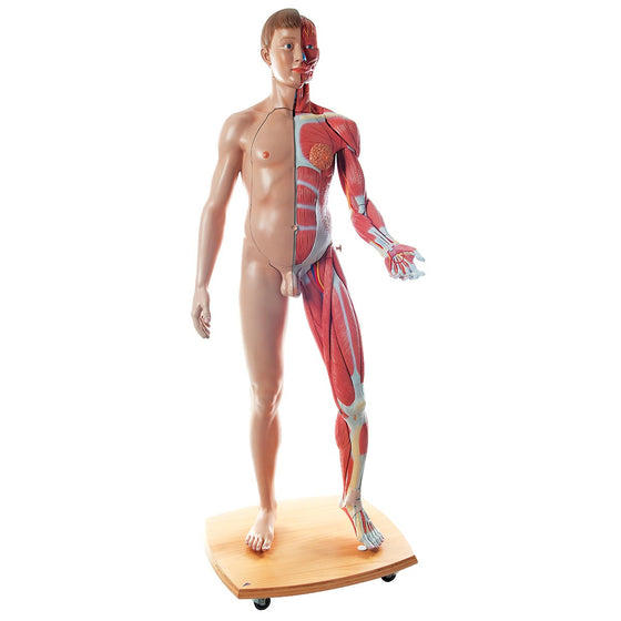 3B Scientific Life-Size Dual Sex European Anatomical Model