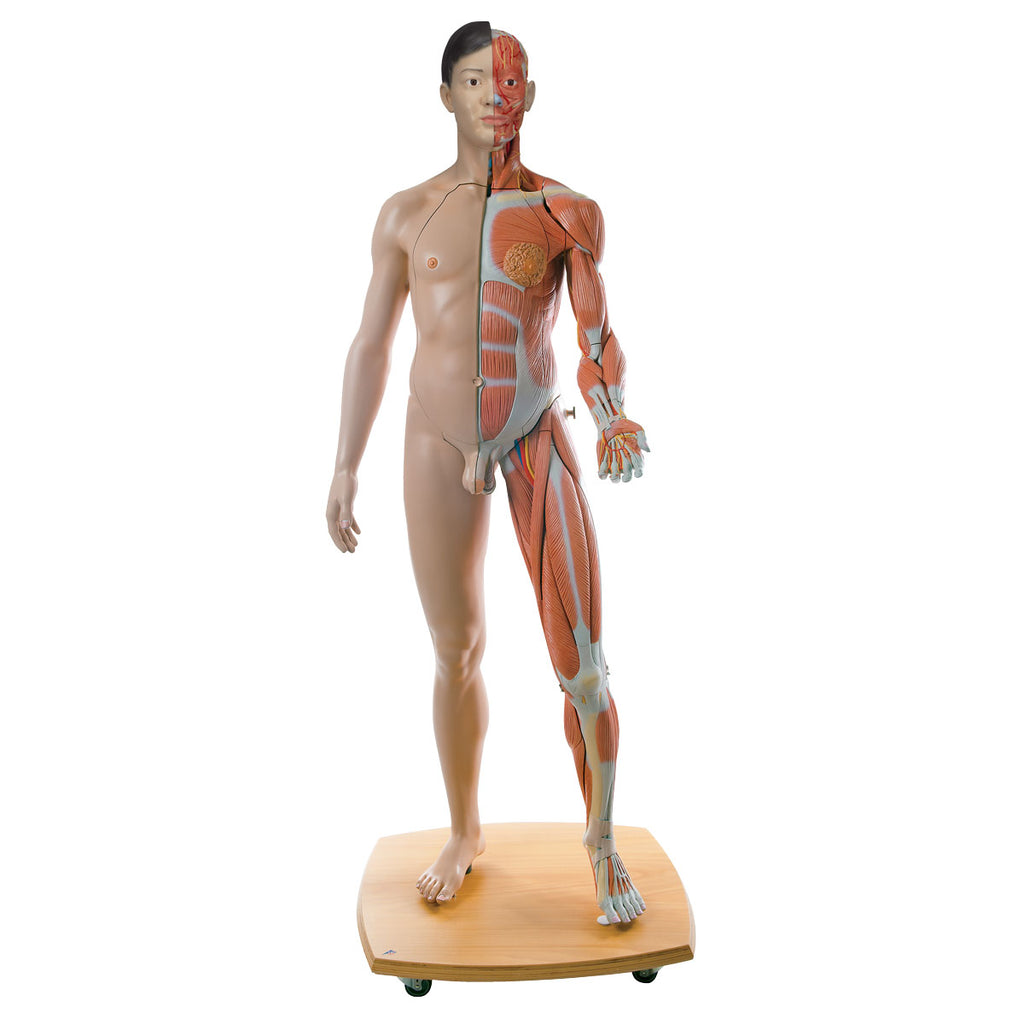 3B Scientific Life-Size Dual Sex Asian Anatomical Model