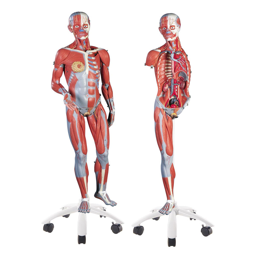 3B Scientific B50 3/4 Life-Size Dual Sex Muscle Model on a metal stand with 5 casters, 45-part