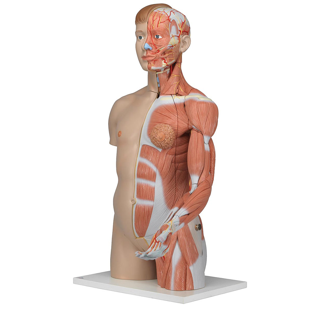 Deluxe Torso with Muscle Arm Anatomical Model
