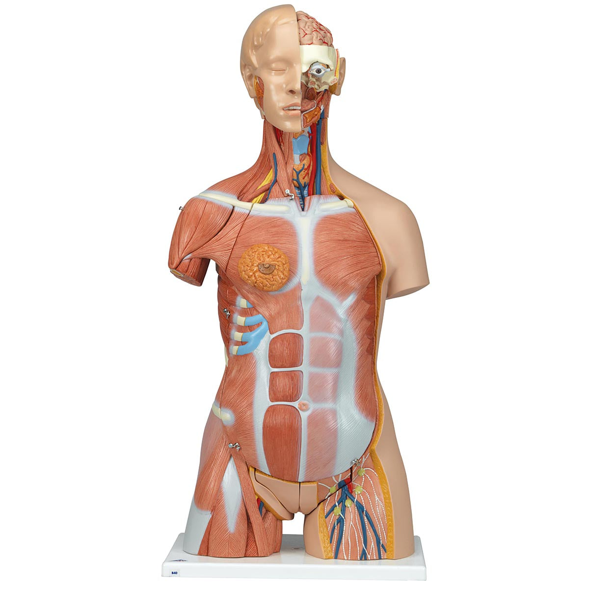 Deluxe Muscle Torso Anatomical Model Ceilblue