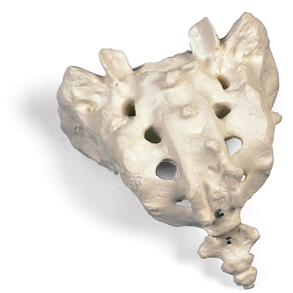 Sacrum and Coccyx Skeletal Model
