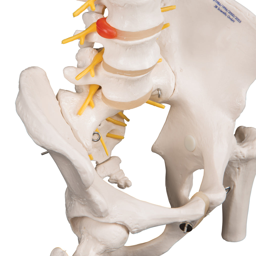 Deluxe Flexible Spine with Femur Heads