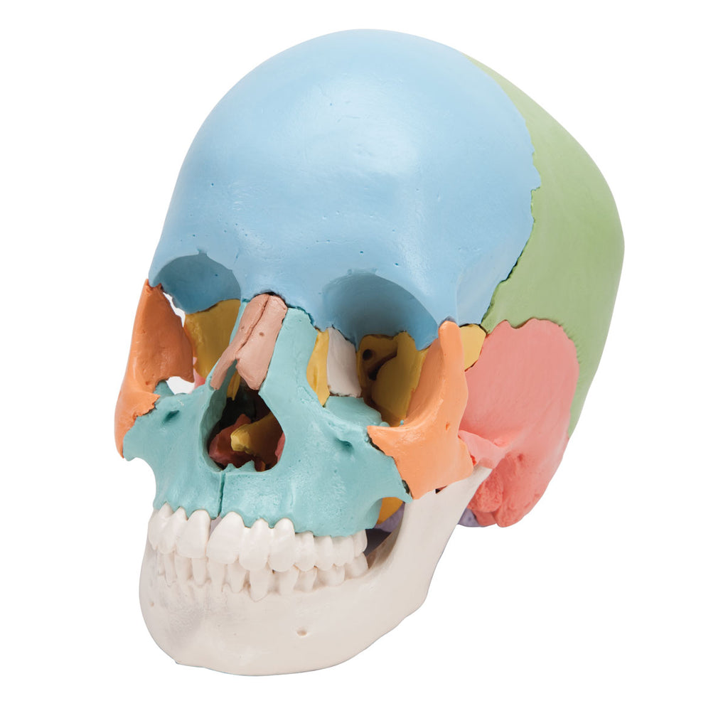 Beauchene Skull Didactic Version