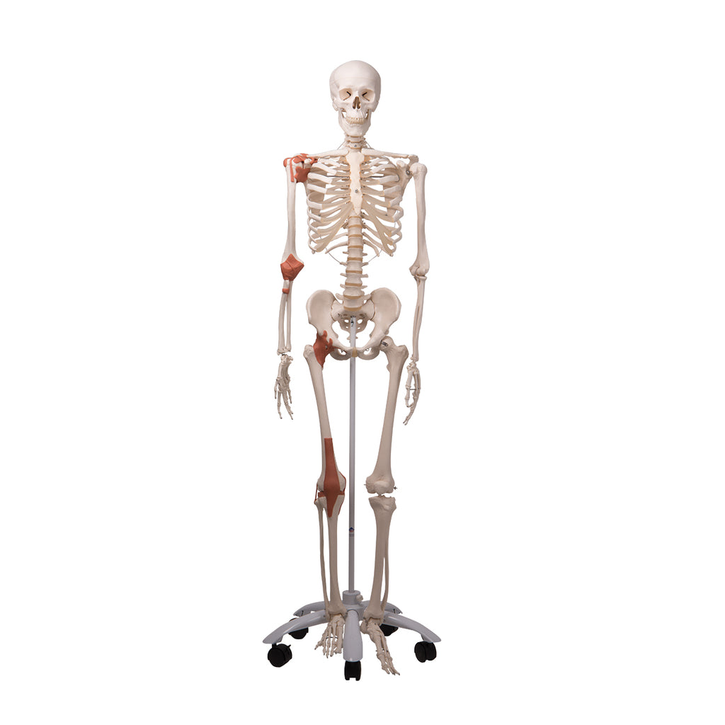 Leo the Ligament Skeleton with Pelvic Roller Stand
