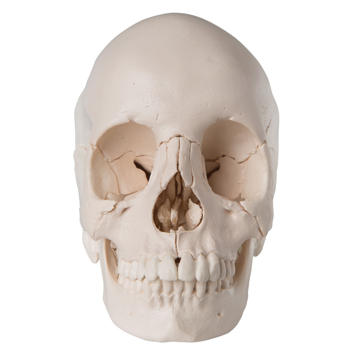 Beauchene Skull Anatomical Version Ceilblue
