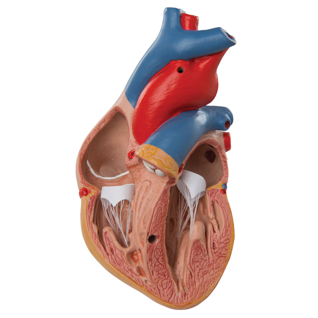 Classic Heart with Thymus
