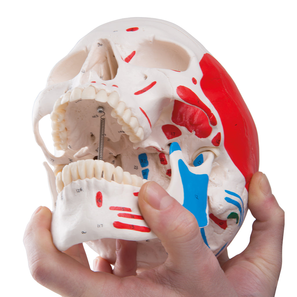 Classic Skull Painted Anatomical Model