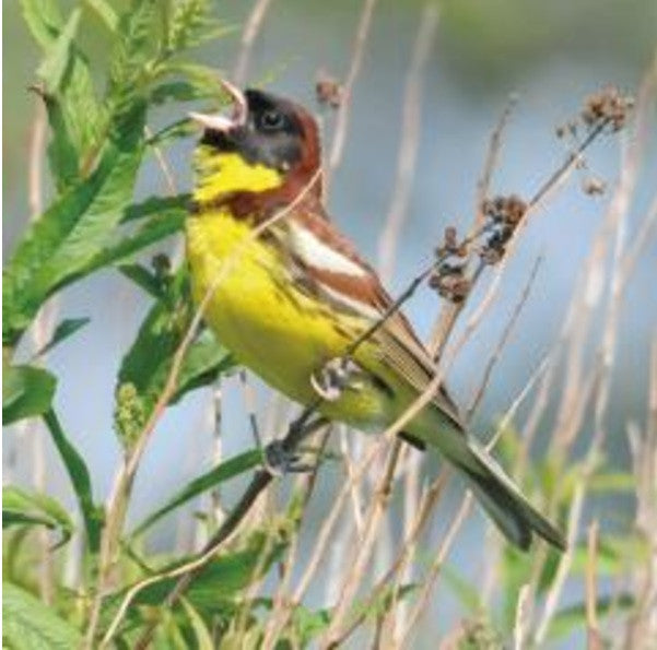 Yellow Brested Bunting