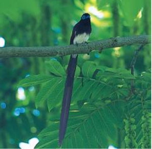 Load image into Gallery viewer, Japanese Paradise Flycatcher