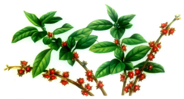 Ashwagandha – A Nutritional and Spiritual Powerhouse