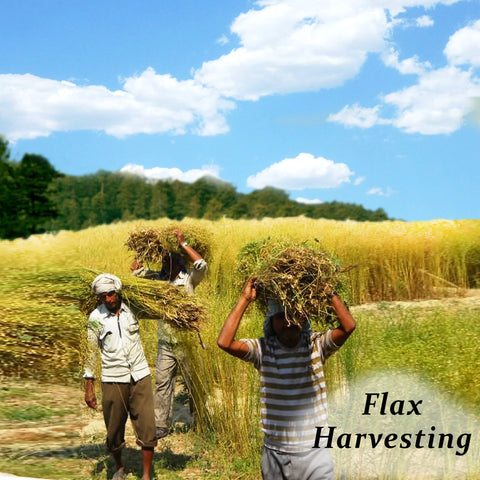 Manual harvesting of Flax