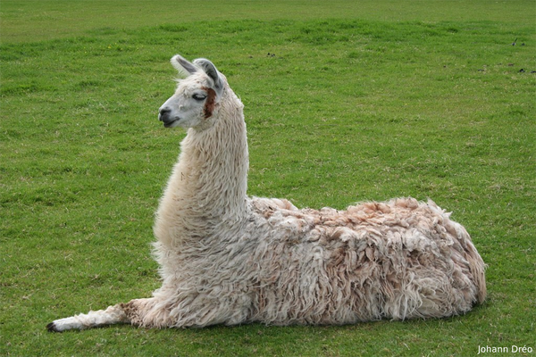 Know Your Fiber:  Llama