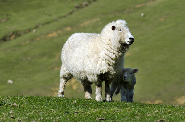 Know Your Fiber:  Perendale Wool