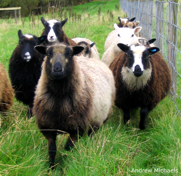 Know Your Fiber:  Shetland Wool
