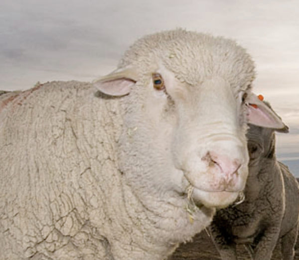 Know Your Fiber:  Targhee Wool