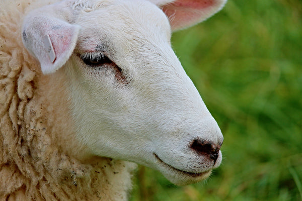 Know Your Fiber:  A (Very) Brief History of Wool