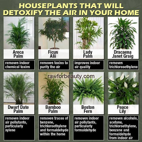 How to Use House Plants To Clean the Air in Your Home Nasa S List Of House Plant on list of perennial plants, list of office plants, list of green plants, list of plant diseases, list of house materials, list of african violets, list of pvz 2 plants, list of toxic houseplants, list of bog plants, list types of plants, list of all plants, list of types of orchids, list of cacti, list of bedding plants, list of landscaping, list of mattresses, list of vines, list of water plants, list of common plants, list of garden plants,