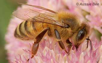 9 Facts about Australian Native Bees