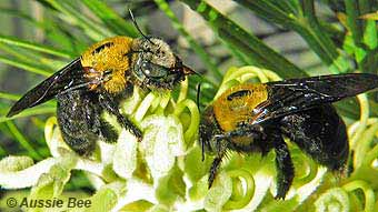 Australian Native Bee Research