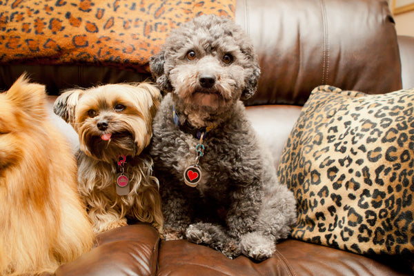 3 tips how to detect Cardiac problems in your dog or cat