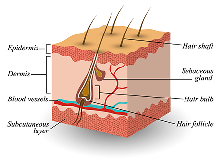 Scalp Structure