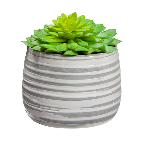 Succulent in Striped Container