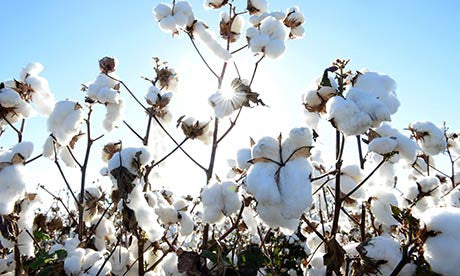 Organic Cotton vs Conventional Cotton