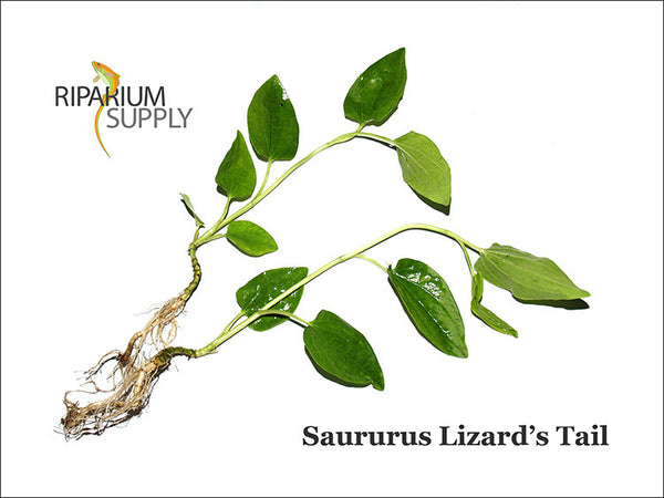 Saururus Lizard's Tail
