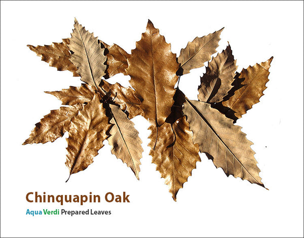 Chinquapin Oak - Aqua Verdi Prepared Leaves