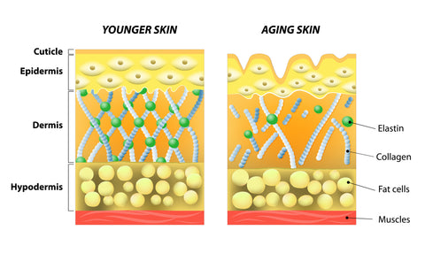 The aging process. Collagen breakdown as we age